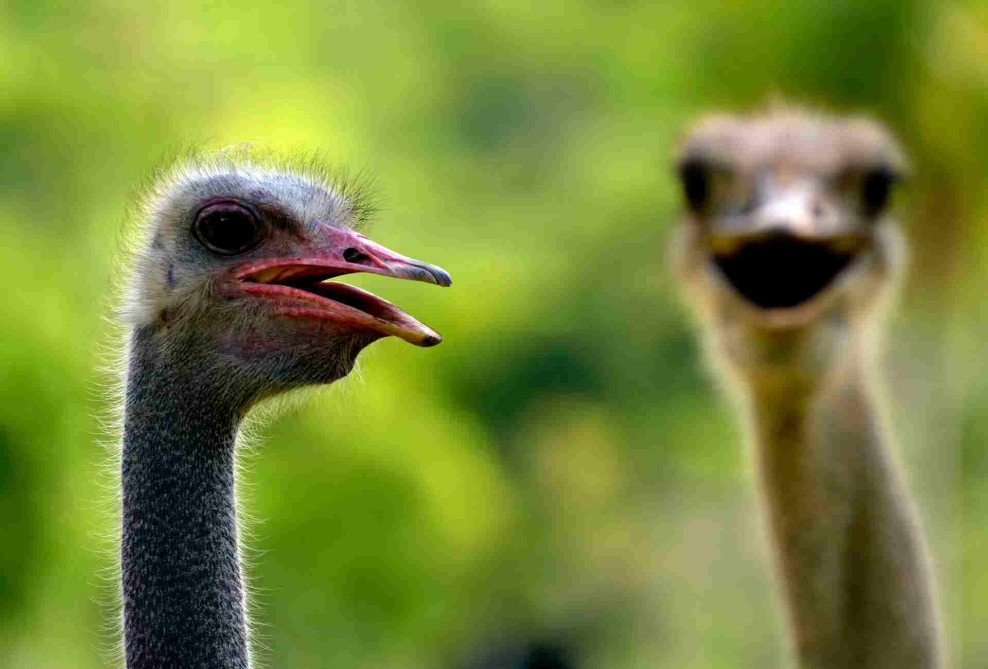 2 Avestruces