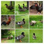 Patos y gallinas