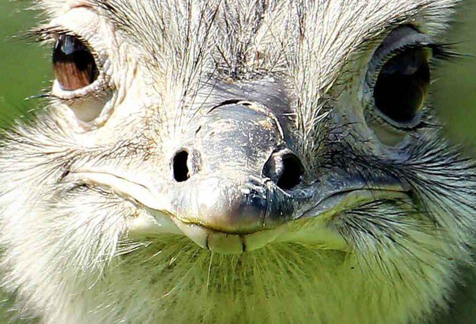 Cabeza de Avestruz
